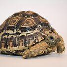 Leopard Tortoise by starbucksgirl26