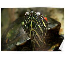 Turtle/Terrapin Poster