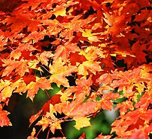 The Maple tree by barnsis