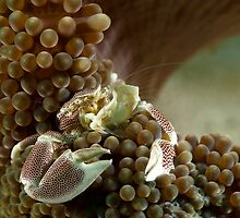 porcelain crab - neopetrolisthes maculatus by spyderdesign