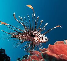 Awesome Lionfish by cute-wildlife