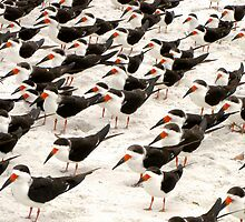 Black Skimmers in a Row by Frank Bibbins