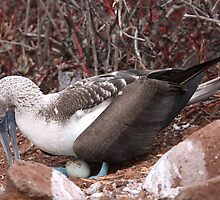 Blue Footed Booby by Paul Duckett