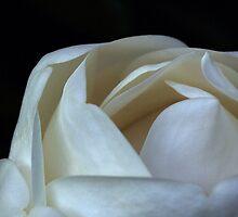 Magnolia 2 by Byron Taylor