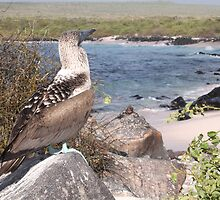 Majestic Blue Footed Booby by Paul Duckett