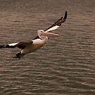 Pelican Glide by Jenny Dean