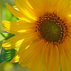 Sunflower by Richard Rushton
