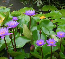 Water Lilies in Raiatea by Laurel Talabere
