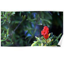 Pomegranate Blossom Poster