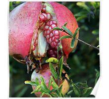 Pomegranate splits Poster
