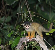 Yellow tailed squirrel monkey by Paul Duckett