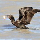 Little Black Cormorant with Cat-fish - Longreach Waterhole NT by Alwyn Simple