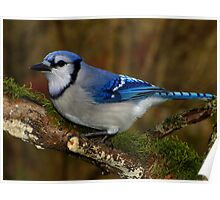 Blue Jay on Mossy Perch Poster
