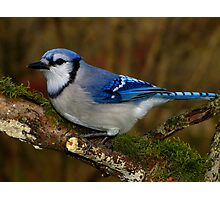 Blue Jay on Mossy Perch Photographic Print