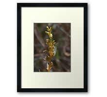 Mature stem of Austral Toadflax, Thesium australe Framed Print