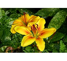 Bright Yellow Lilies Photographic Print