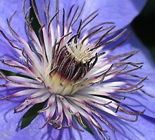 Purple Clematis Blossom Center by plunder
