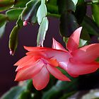 Schlumbergera (Pink Christmas Cactus) by Winston D. Munnings