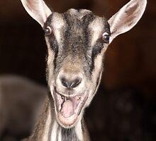"""I'm Baaaad"" - goat has goofy expression by John Hartung"