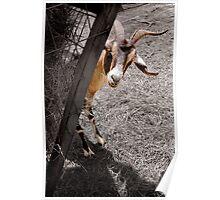 """Peek A Bahhhh"" - goat peeks around corner Poster"
