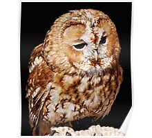 An Injured Owl in the World Bird Sanctuary Poster