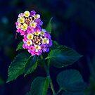 Lantana blooms by Ann Reece