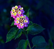 Lantana blooms by Ann Reece