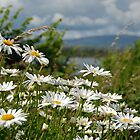 Sherkin Island daisies, West Cork, Ireland by Orla Flanagan