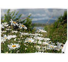 Sherkin Island daisies, West Cork, Ireland Poster