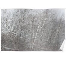 Wind and snow in the New England birches Poster