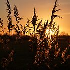 Sunset through the reeds by Meladana