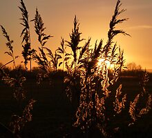 Sunset through the reeds by Meladana