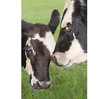 """Mooing Cousins"" - two cows Photographic Print"