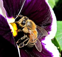 Bee in a Pansy by Brenda Boisvert