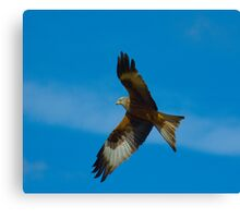 Red Kite in flight in Wales UK Canvas Print