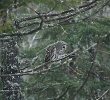 Barred Owl by stewartcher