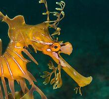 Leafy Seadragon  by Whitepointer