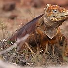 Galapagos Land Iguana by Paul Duckett
