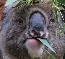 Koala by Whitepointer