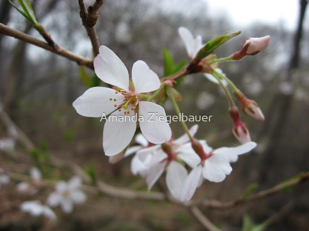 White Flower Close-up by Amanda Ziegelbauer