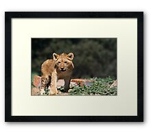 A cute Tiger baby Framed Print