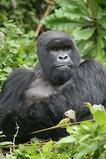 Silverback on Watch by naturalnomad