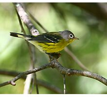 Magnolia Warbler Photographic Print