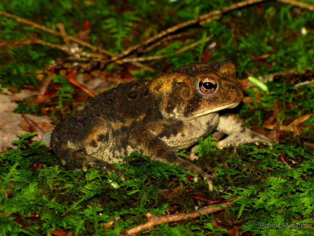 American Toad Against Moss by Robert Miesner