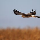 Northern Harrier by Rob Lavoie