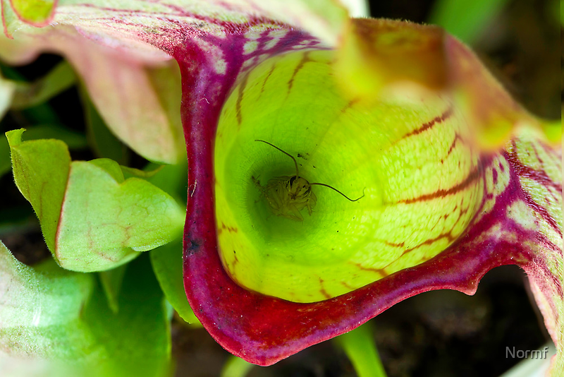 Death in a Pitcher - Sarracenia species by Normf