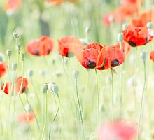 Poppies by imagejournal