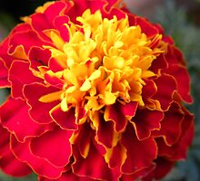 Vibrant Marigold by Tjfarthing