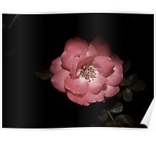wild rose hiding the beauty in the night Poster