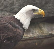 bald eagle by 1busymom